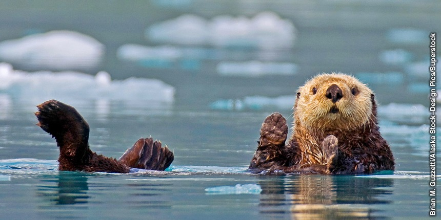 The Sea Otters Fur NAZARENES OF THE WORLD